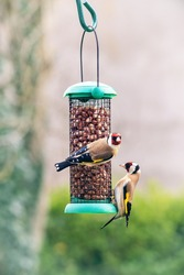 Two European goldfinch or simply the goldfinch (Carduelis carduelis) on  bird feeder with peanuts. Small passerine bird in the finch family that is native to Europe.
