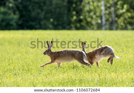 Two European hares running on the field #1106072684