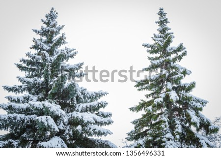 Two evergreens with fresh snow fall side by side against a white winter background #1356496331