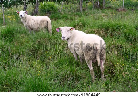 two ewes on a pasture looking at the camera