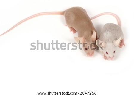 two fancy mice in love ;-)