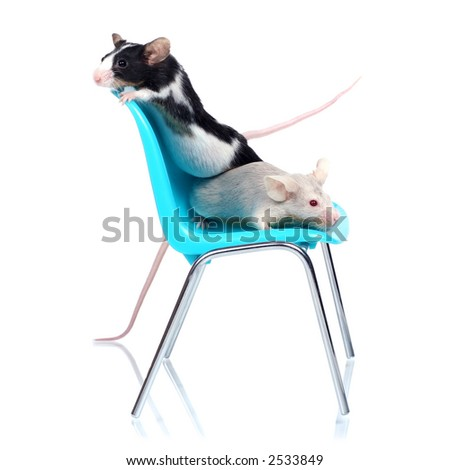 two fancy mice on a blue chair, isolated on white background