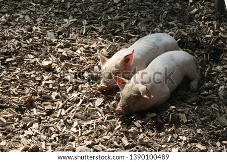 Two farm piglets sleeping in the sun on wood chips. Picture taken in Ballenberg.