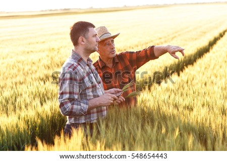 Two farmer standing in a wheat field with tablet, They are examining corp at sunset.