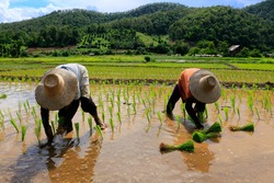 Two farmers are planting rice seedlings in wet rice field by their hands. Some bunch of rice seedlings are waiting to be planted.  At Chiang Mai, north of Thailand.