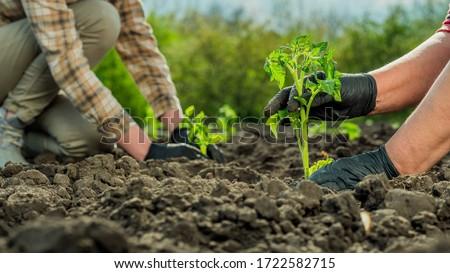 Two farmers plant tomato seedlings in a field Сток-фото ©