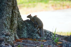 Two feisty eastern gray squirrels (Sciurus carolinensis) mating in the morning shade on a large oak tree root.