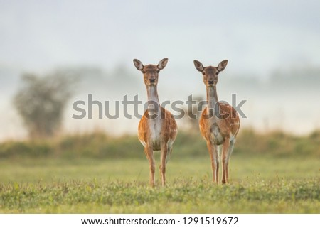 Two female fallow deer, dama dama, in autumn colors in first sunrays. Detailed image of two wild animals with blurred background. Wildlife scenery with cute mammals watching. #1291519672