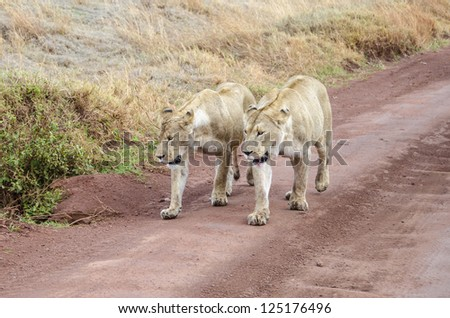 Lions walking together - photo#19