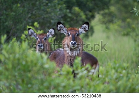 Two female Water Bucks in the Masai Mara Kenya.