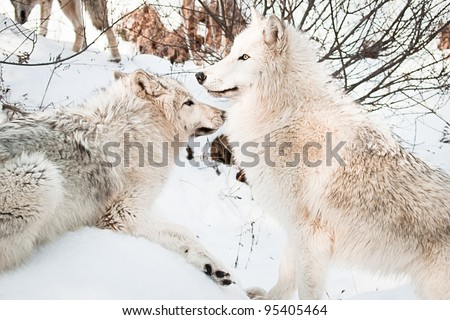 two female white arctic  wolves posing in snow