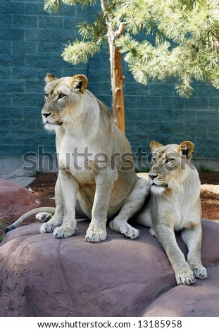 two female white lions