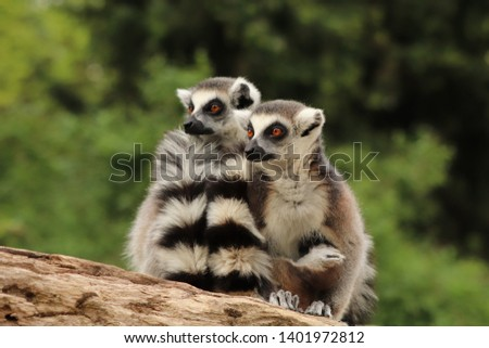 Two females of ring-tailer lemur (Lemur catta) sit on trunk and looking in same direction. One holds little one which sucks mother milk. Natural maternity behavior. Habitat Madagascar, Africa.