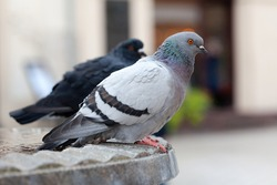 Two feral pigeons, common grey city dove, pair of birds up close, columba livia domestica species, simple closeup, detail. Urban pigeons up close, city fauna up close, nobody, side view, outdoors