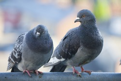 two feral pigeons dublin