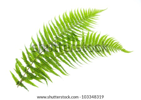 two ferns isolated on white