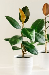 Two ficus elastic plant rubber tree in white ceramic flower pots. Close up.