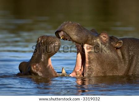 Two fighting hippos; Hippopotamus amphibius; South Africa