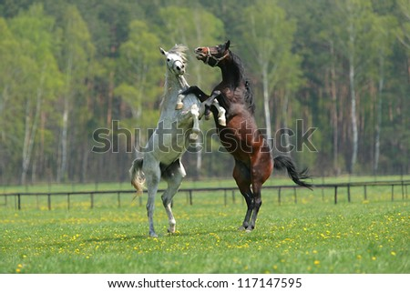 two fighting horses