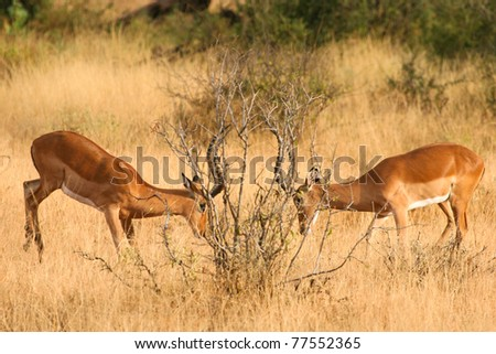 Two fighting impalas in Samburu National Park, Kenya