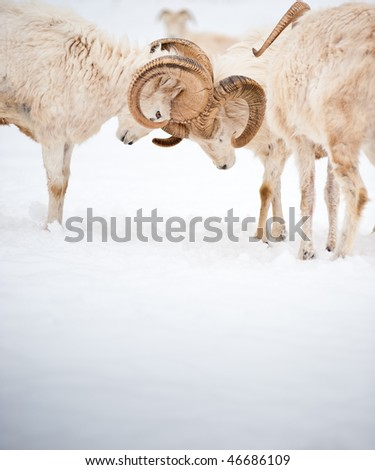 Two fighting male Dall Sheep (Ovis Dalli) ram horns in a display of power.