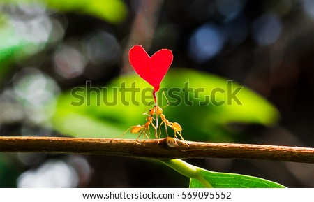 Two fire ants helping each other carry a paper heart shape