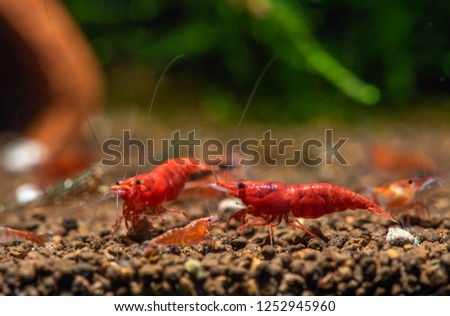 Neocaridina davidi fire red cherry shrimp Images and Stock