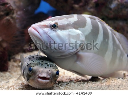 Two fish buddies, a grouper and puffer fish, enjoy each other's company.