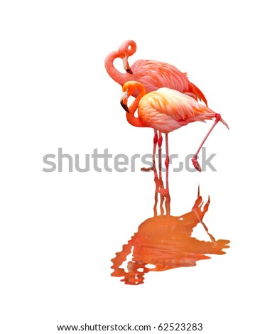 Two flamingo birds isolated on white background
