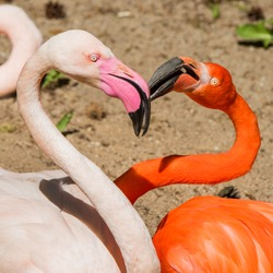 Two flamingo heads pink and red color heart shaped. Flamingos beak to beak