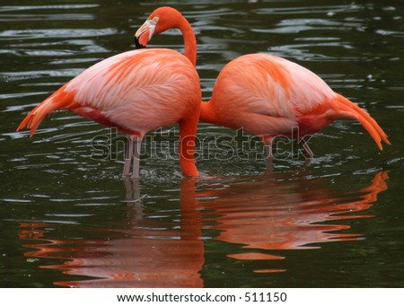 Two Flamingos in Water