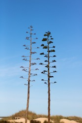 Two flower stalks of American century plant or agave growing against the blue sky in sandy dunes of a coastal area in Portugal