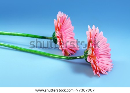 Two Flowers gerbera, macro shot, natural background for card