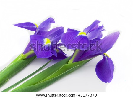 http://image.shutterstock.com/display_pic_with_logo/275779/275779,1264355228,1/stock-photo-two-flowers-of-an-iris-of-violet-colour-on-white-background-45177370.jpg