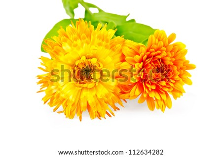 Two flowers of calendula terry yellow and orange with green leaves isolated on white background