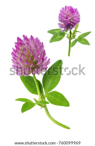 two flowers of red meadow clover with leaves and a stem close-up isolated on white background #760099969