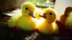 Two fluffy, adorable, precocious sibling baby ducklings