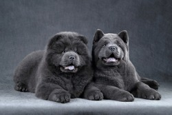 Two fluffy chow-chow puppies on a gray background