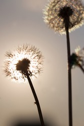 Two fluffy dandelions are on a background of sunset sky. The sun shines through the fluff of dandelion. Evening on the field. Summer time