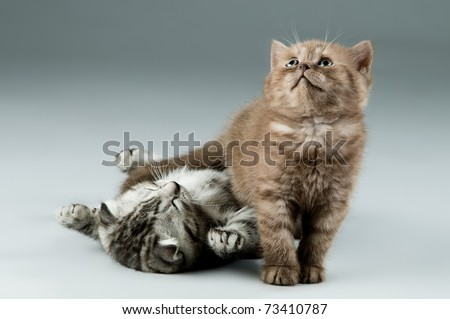 two fluffy,  gray and brown,  beautiful  kitten, breed scottish-straight, lie and  play   on grey background , look up