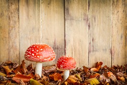 Two fly agaric mushrooms against an old wooden background with room for copy space