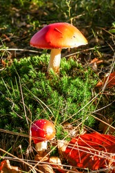 Two fly agaric mushrooms (Amanitae) in green moss, brown autumn leaves and conifer needles, lit by the sun.