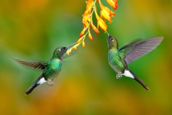 Two flying hummingbirds in flight. Action scene with hummingbirds. Tourmaline Sunangel eating nectar from beautiful yellow flower in Ecuador. Wildlife in tropical forest.