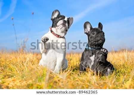 Two french bulldog puppies in a field - stock photo