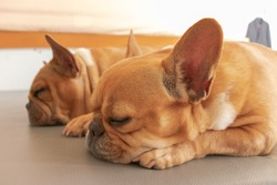 two french bulldog sleeping the gray bed