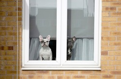 Two french bulldogs inside of house looking out the window in Grantham.