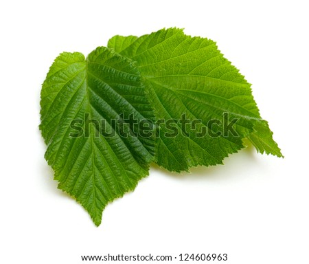 two fresh green leafs isolated on white background