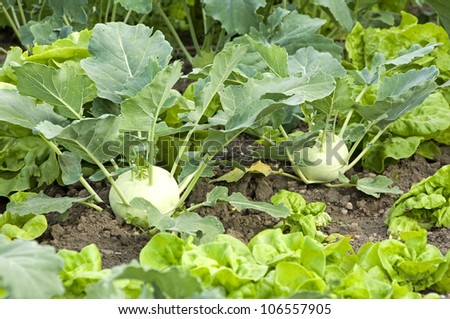 Two fresh kohlrabi in a vegetable patch