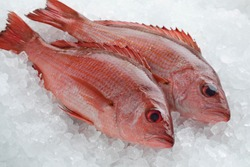 Two fresh raw Northern red snappers on ice