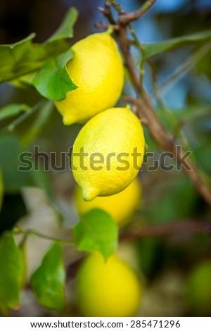 Two fresh ripe lemons hanging on tree branch at garden